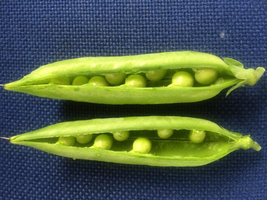 GARDEN-2015-sept-peas-pod