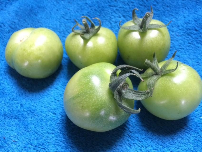 GARDEN-2015-sept-tomatoes-green