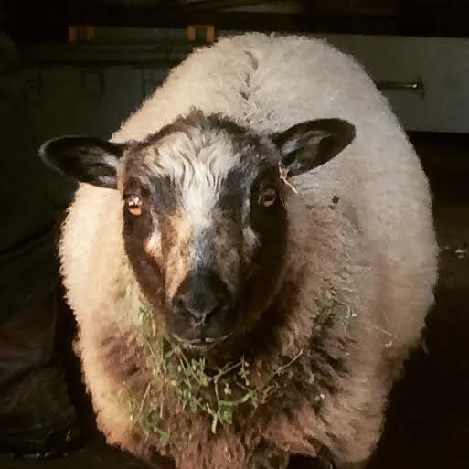 close-up of big lamb's face