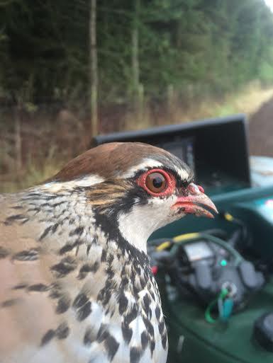 Partridge head close-up