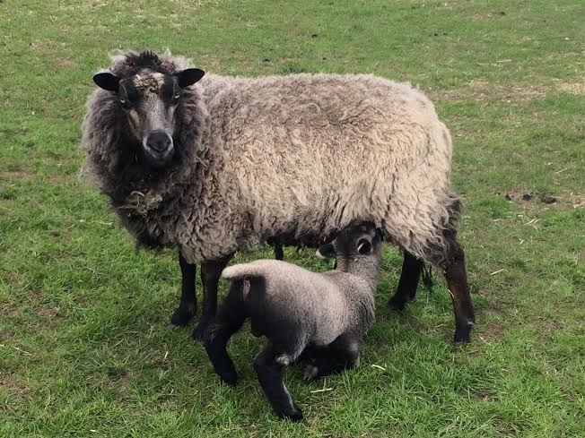 LAMBS-2016-montage-feeding-ewe-lamb
