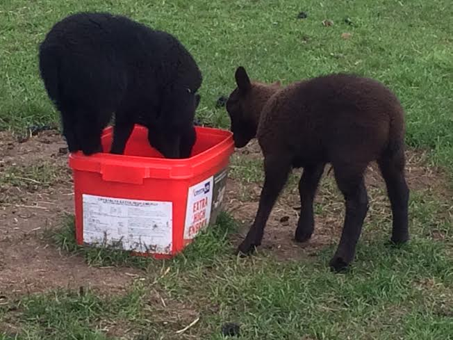 LAMBS-2016-montage-red-tub-better
