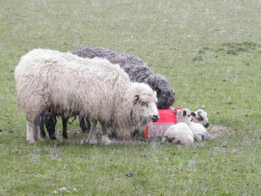 LAMBS16-april28-heavy-snow-tub-ewe-lambs