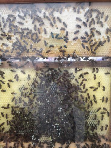 RHS-2016-bees
