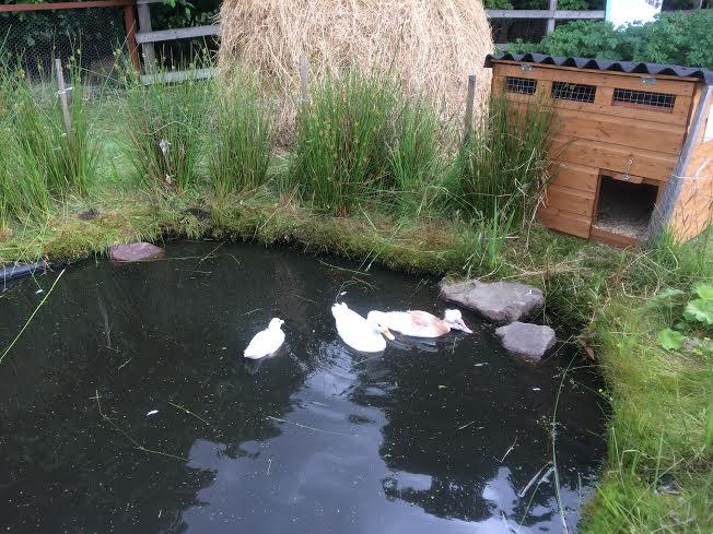 RHS-2016-duck-pond