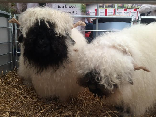 RHS-2016-valais-sheep-best
