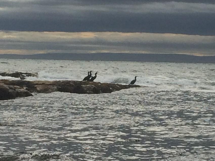 CRAIL-2016-sept-sea-cormorants-close