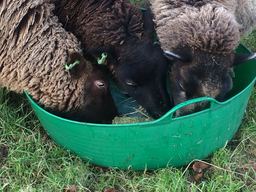 SHEEP-2017-jan-blox-three-heads