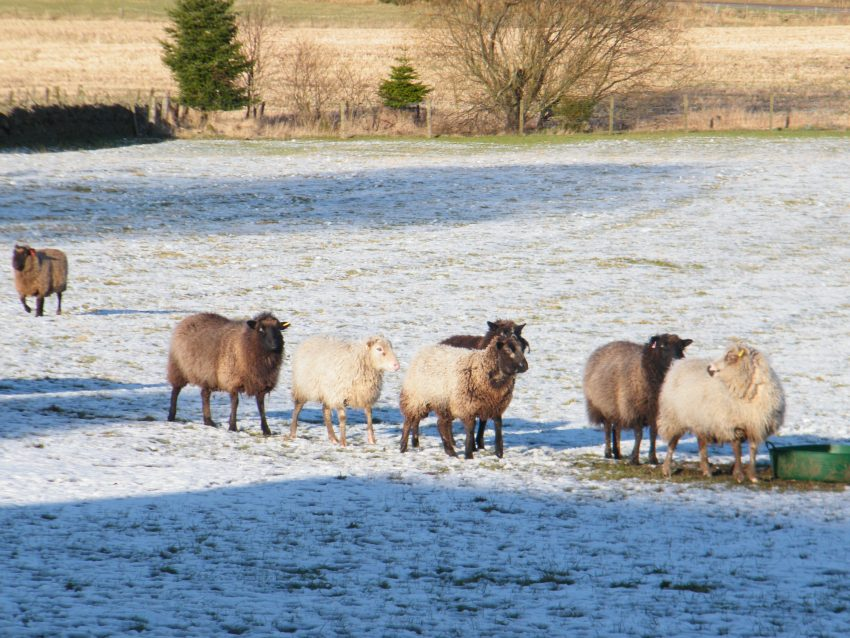 group of sheep in snow Scotland