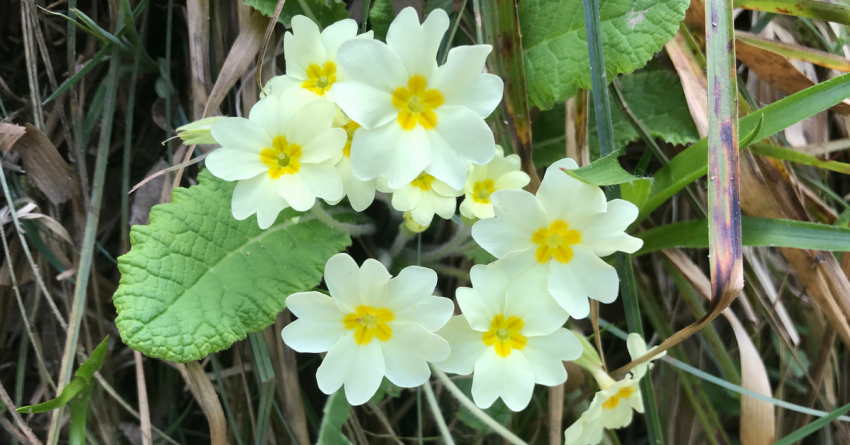 clump of stunning primroses in spring in Scotland