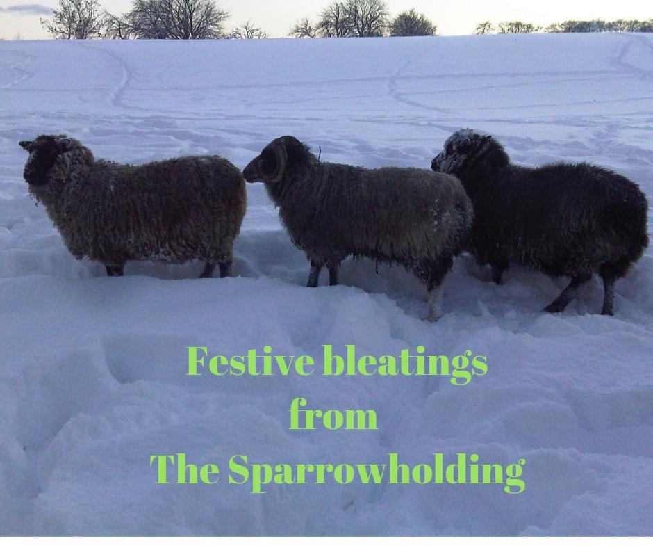 Shetland sheep on Scottish smallholding